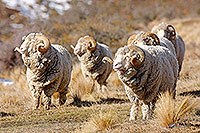 Merino rams in tussock canvas print