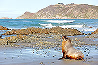 NZ Sea lion juvenile on beach canvas print