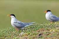 Black fronted terns canvas print